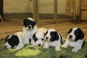 Gem Puppies